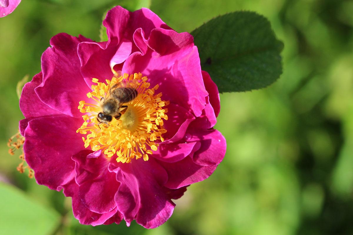 Dobre vrtnice za ljudi in za čebele