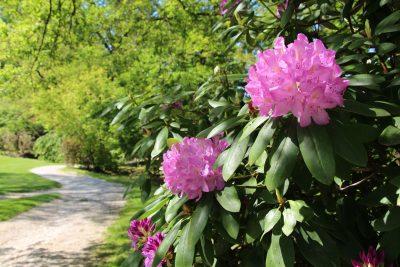 Rododendroni