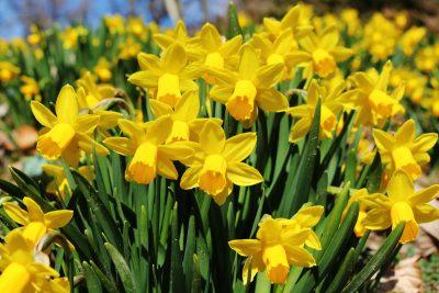 Narcise v Arboretumu Volčji Potok