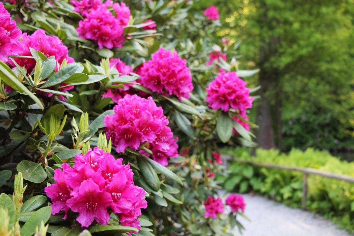 Rododendroni najlepše cvetijo maja