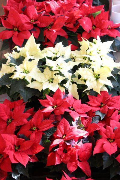 Božične zvezde