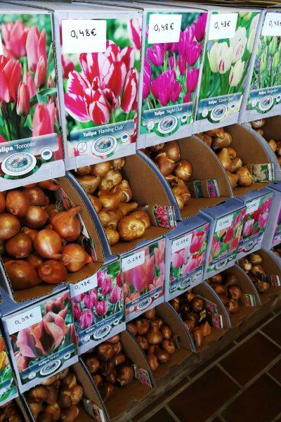 Čebulice tulipanov