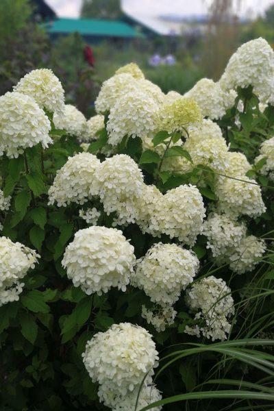 Hydrangea paniculata Llimelight-