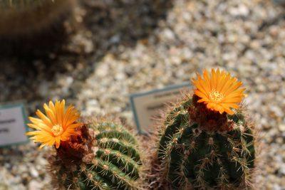 Razstava kaktusov v Arboretumu