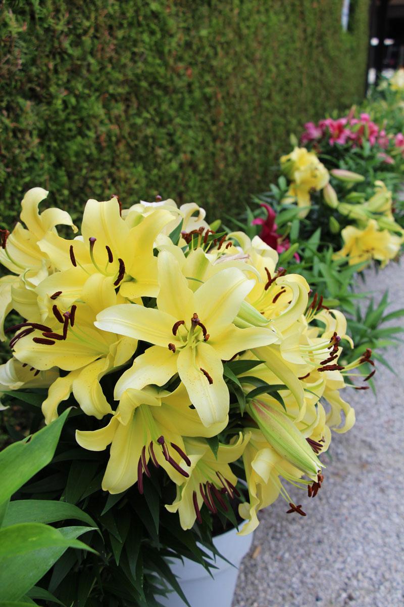 Cvetoče lilije