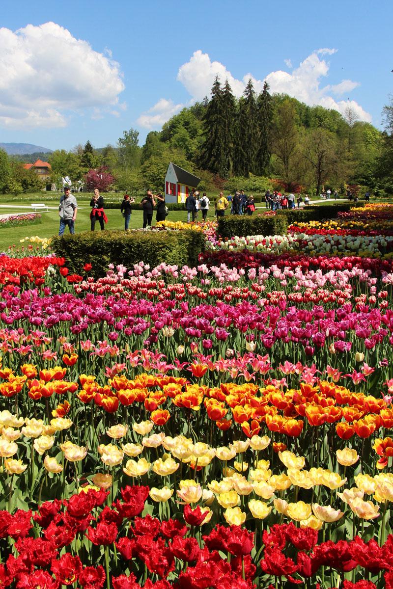 Sortiment tulipanov