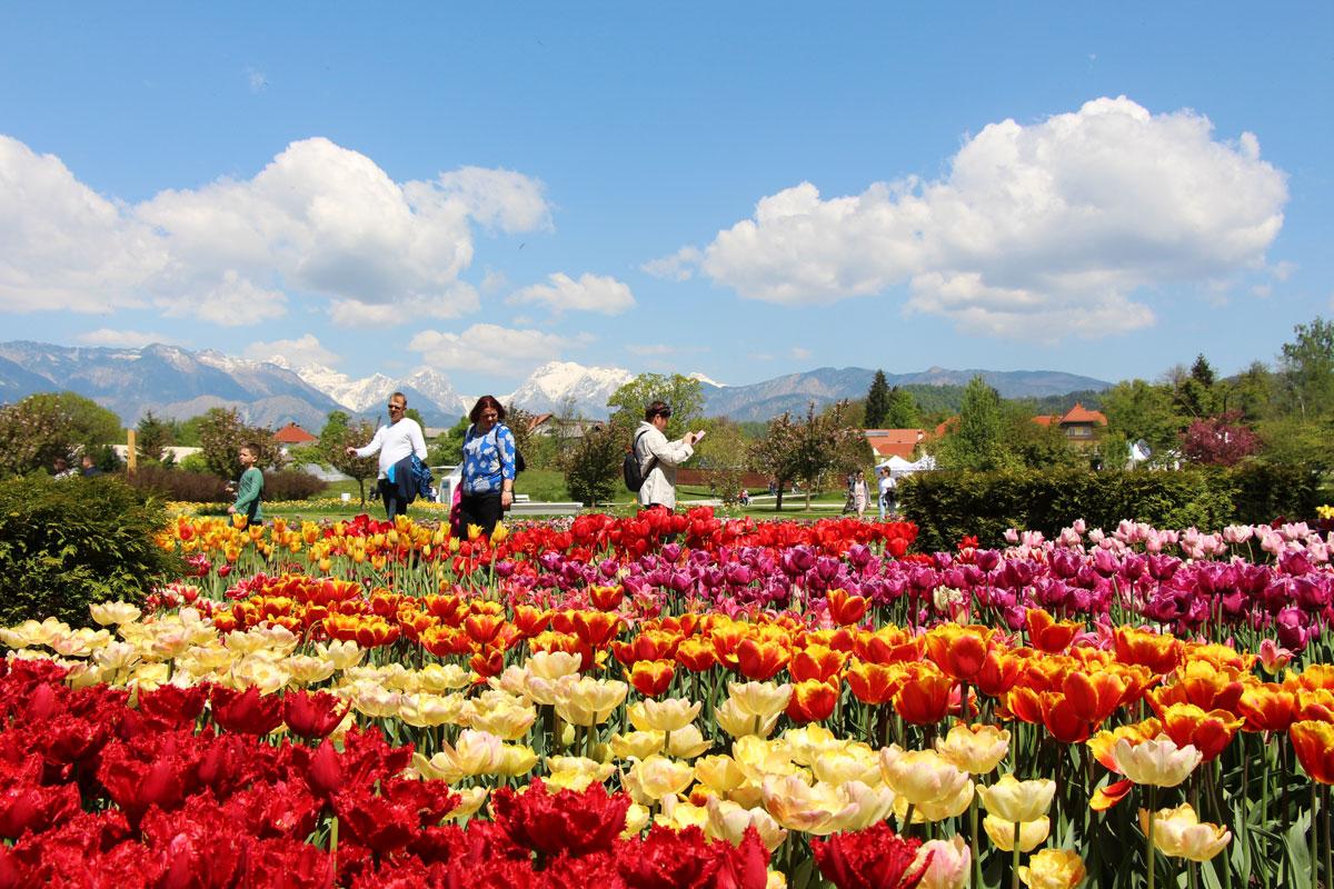 Spomladanska razstava tulipanov v Arboretumu Volčji Potok