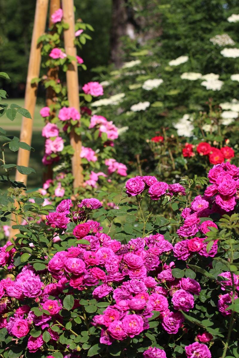 Cvetoče vrtnice