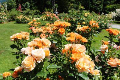 Vrtnice v rozariju Arboretuma