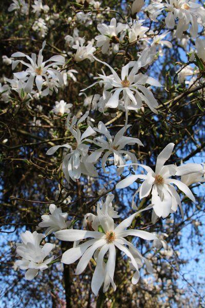 Zvezdasta magnolija