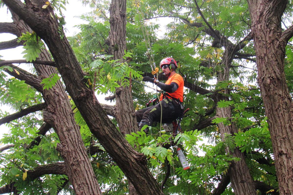 Arborist na delu - obrezovanje drevesa