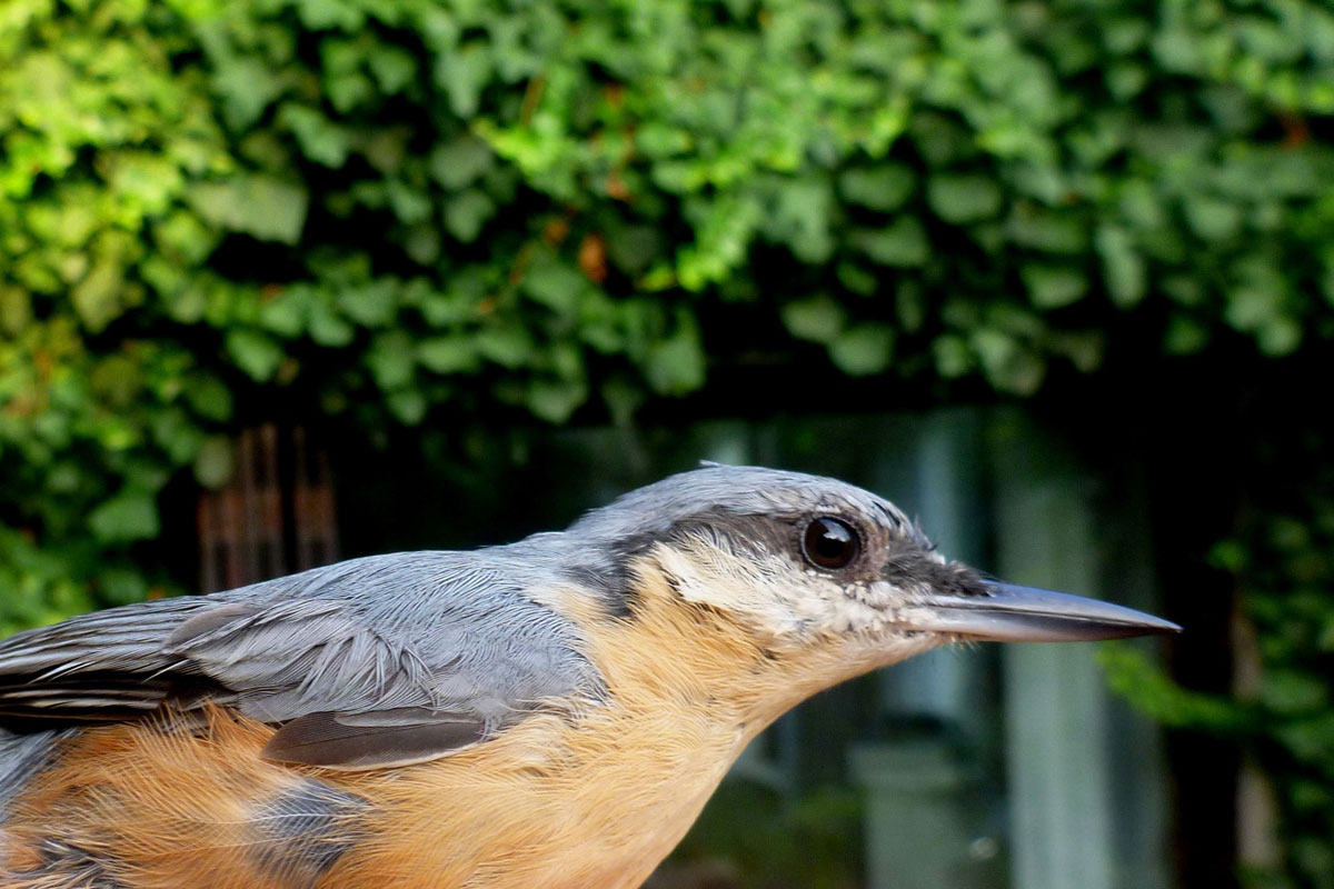 Ornitološki sprehod - brglez