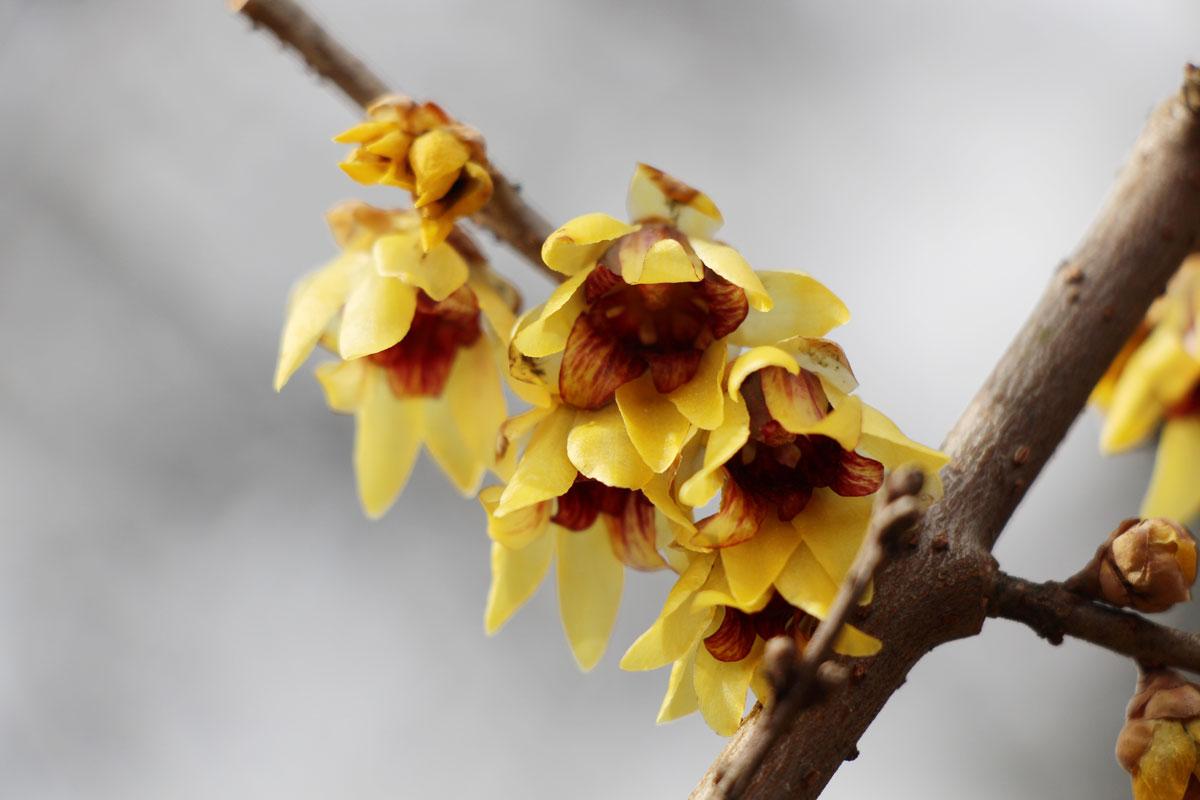 Zgodnji zimski cvet