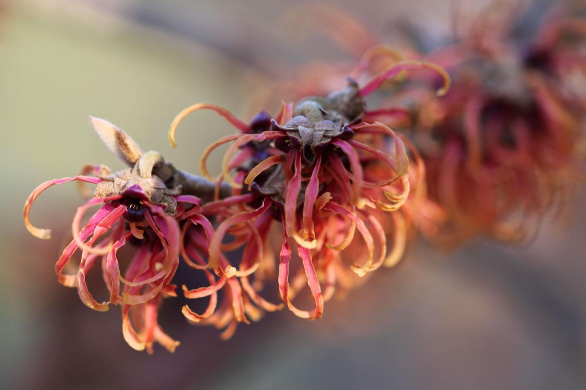 Cvet nepozebnika