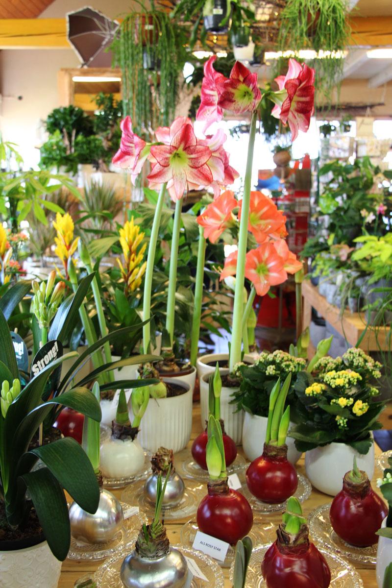 Razstava amarilisov v vrtnem centru