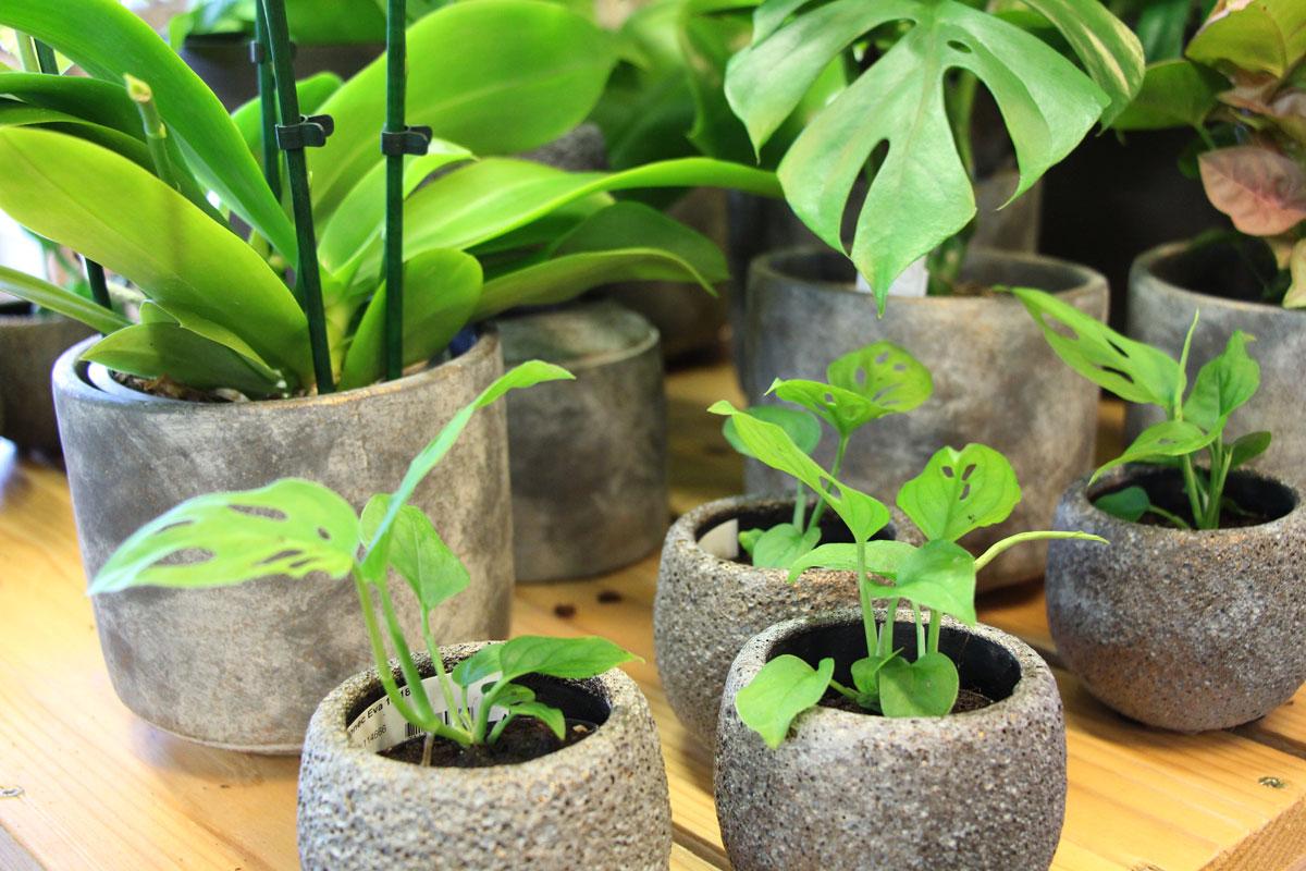 Zelene sobne rastline