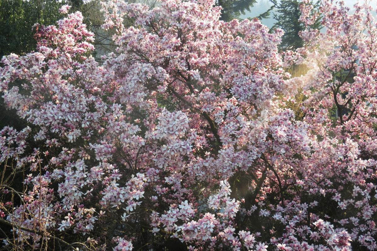 NAJ-magnolija