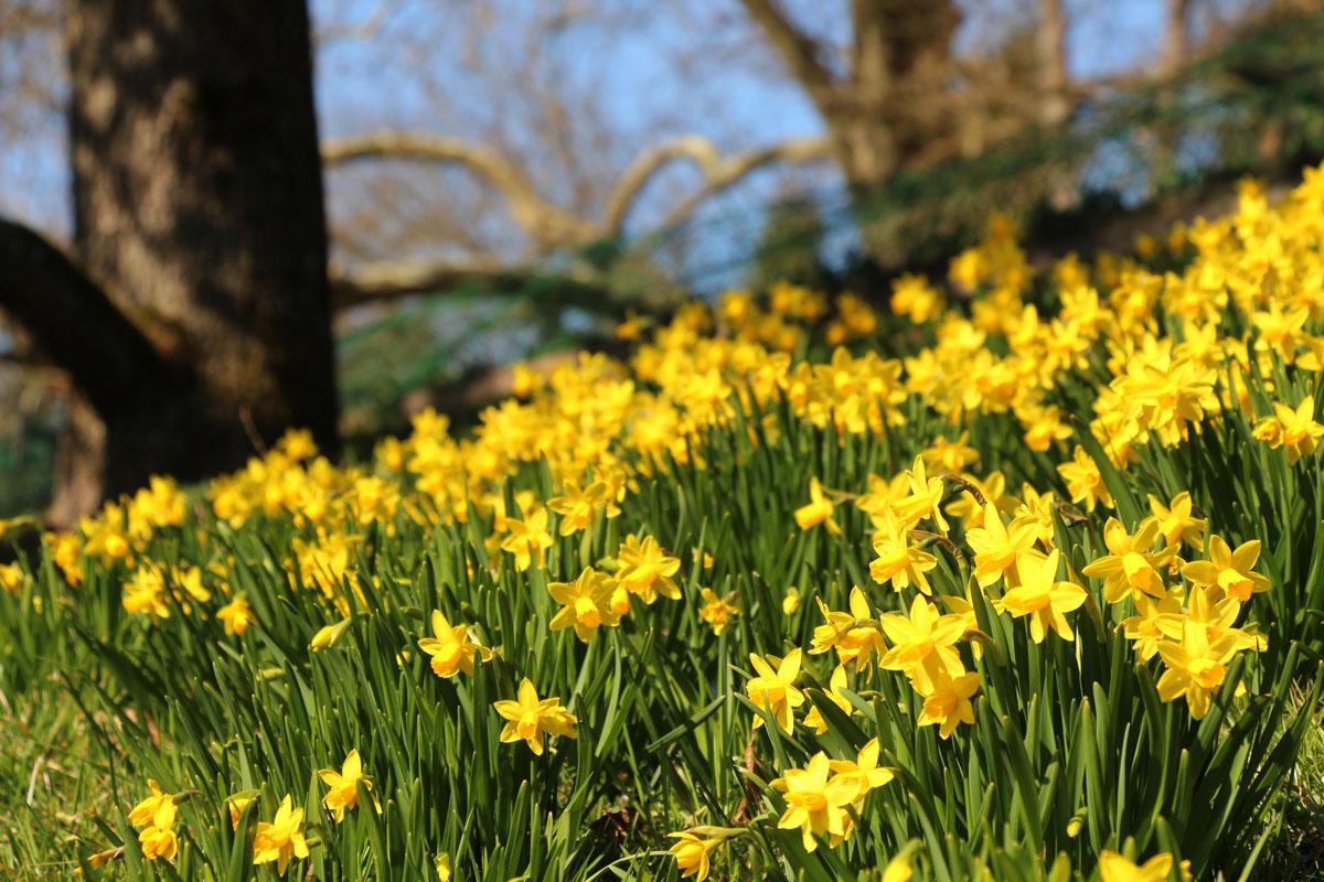 Narcise v francoskem vrtu
