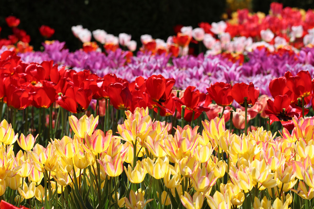 Razstava cvetja in tulipanov