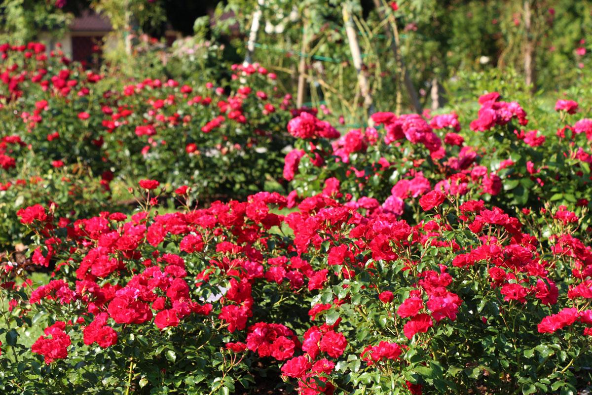Poletje v vrtnicah