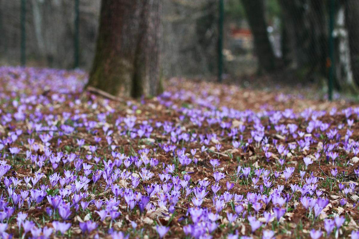 Pomlad in žafrani