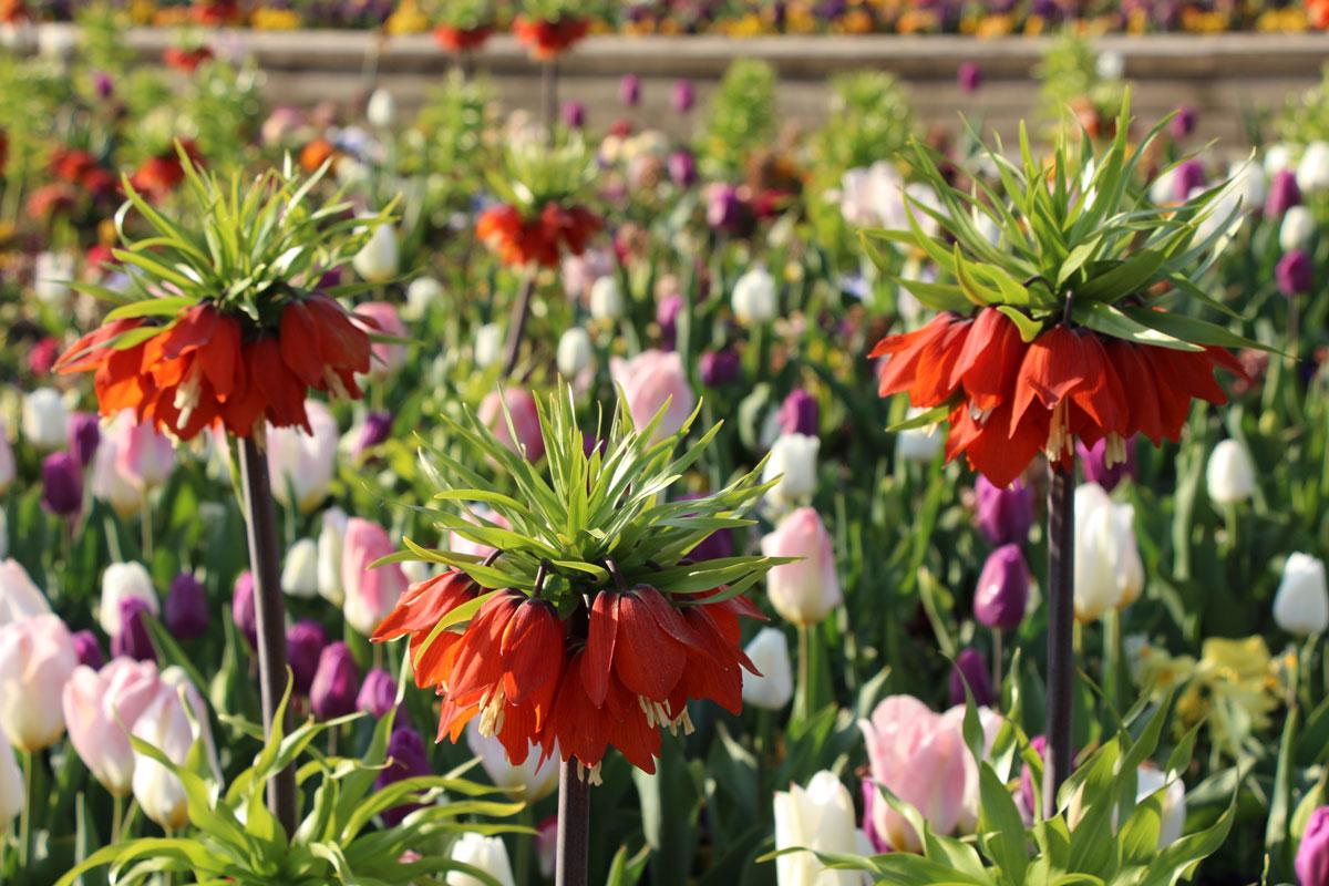Tulipani v Arboretumu Volčji Potok