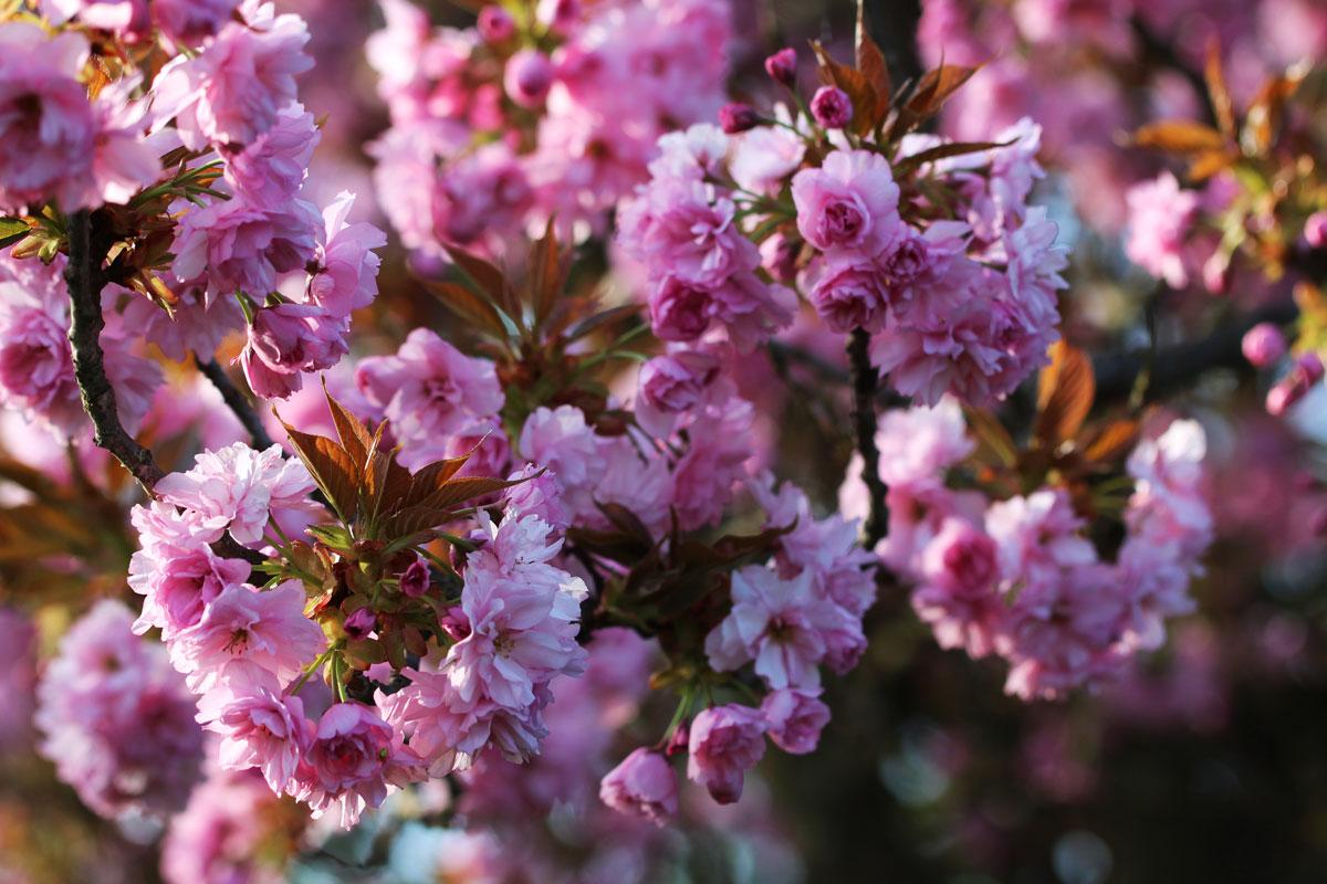 Japonske češnje – prvovrstne lepotice