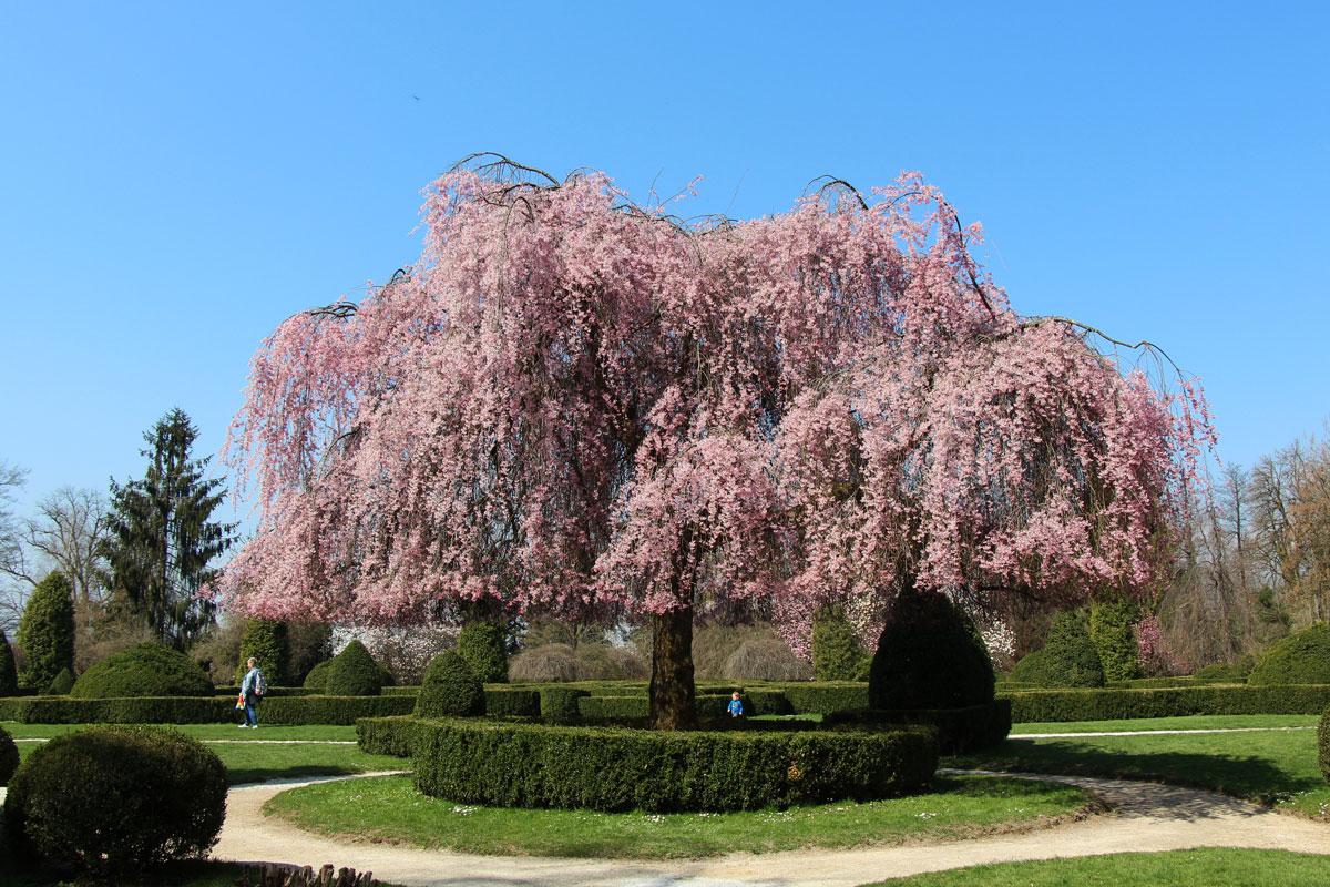 Japonske češnje v Arboretumu