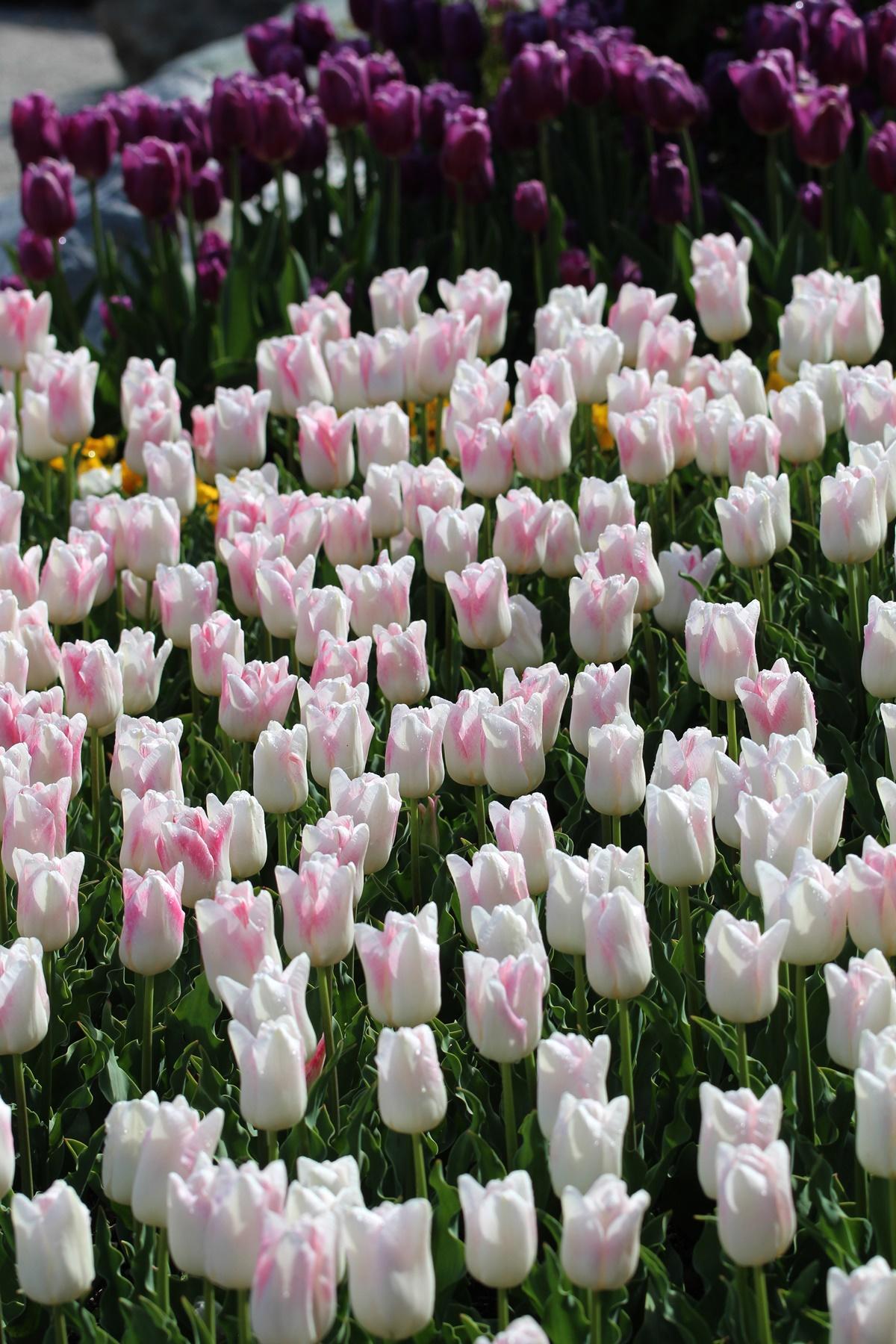 'Kyoko Takahashi' - tulipani