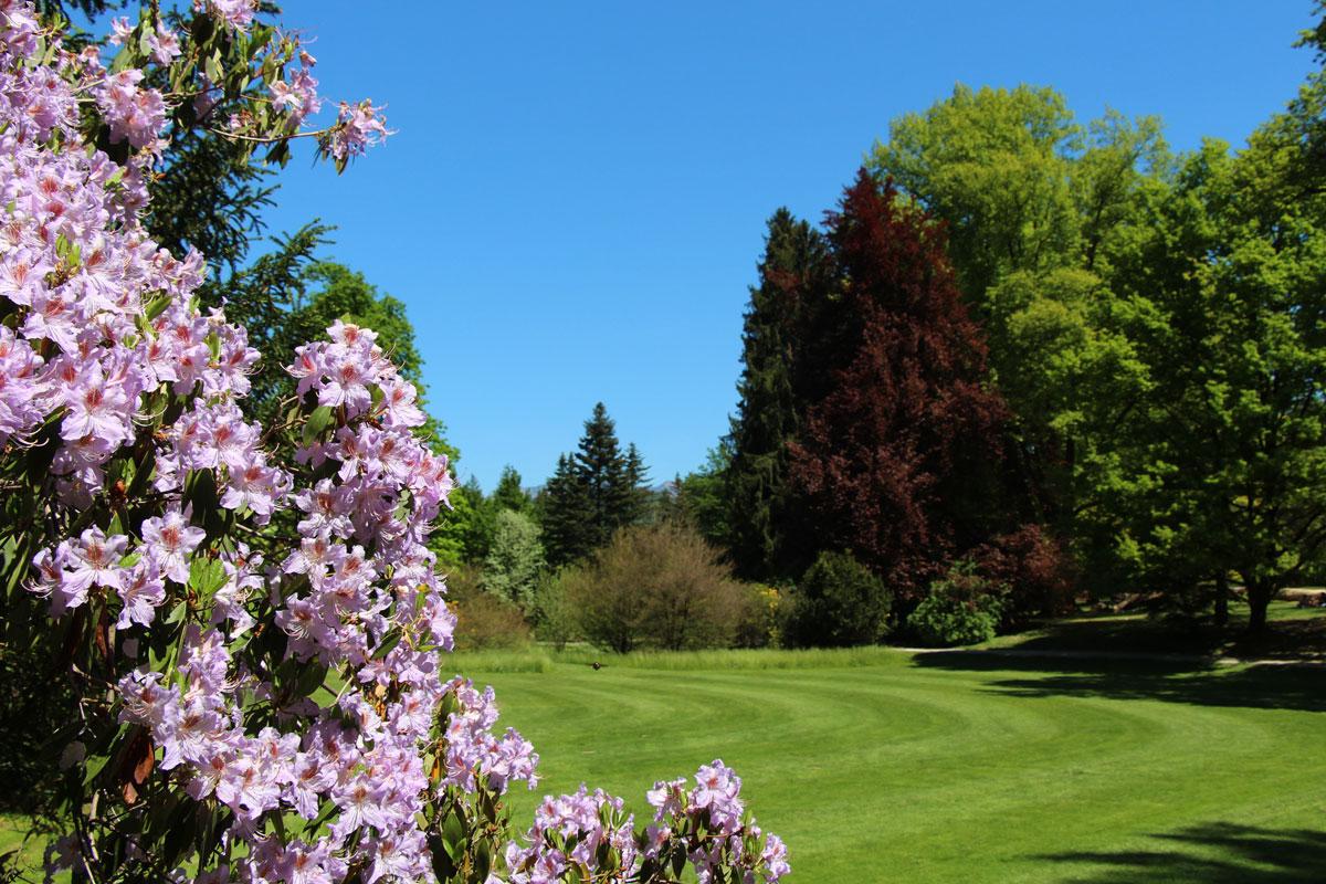 Rododendroni v Arboretumu