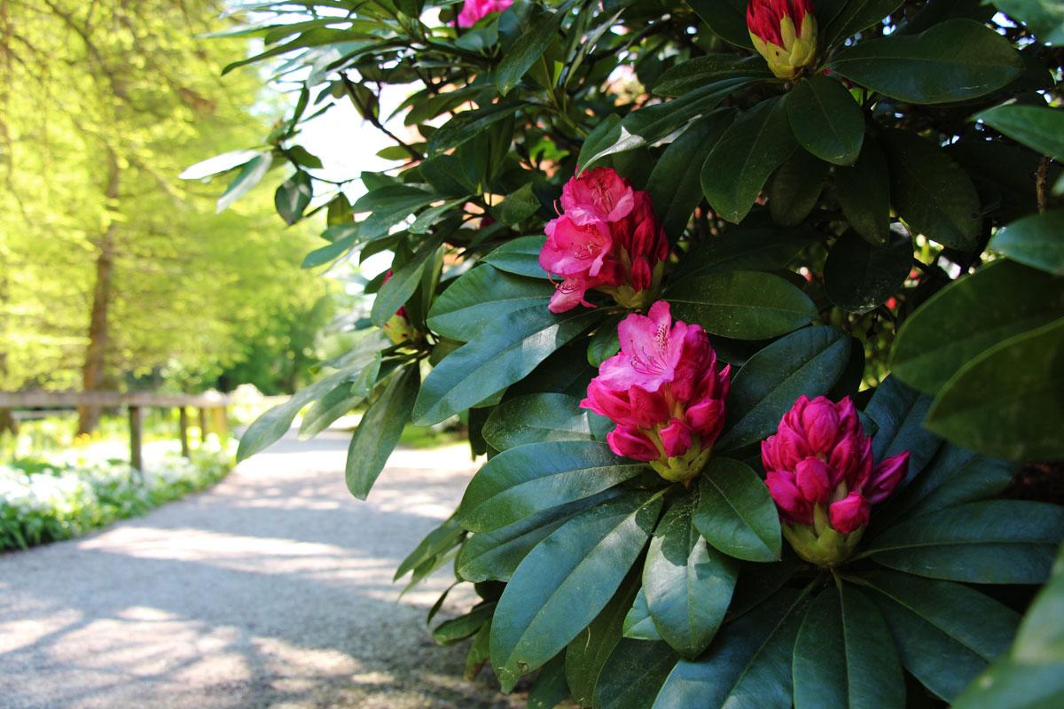 Cvetoči rododendroni