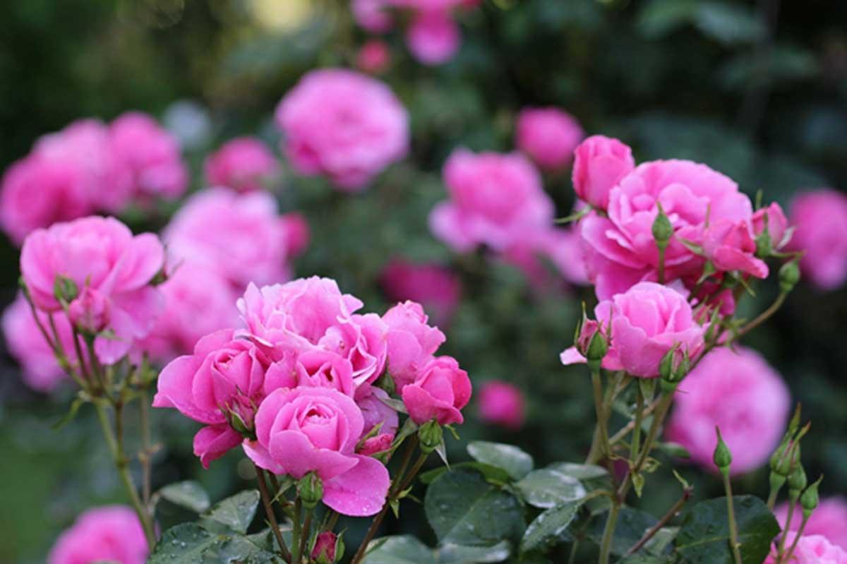Alkimija vrtnic