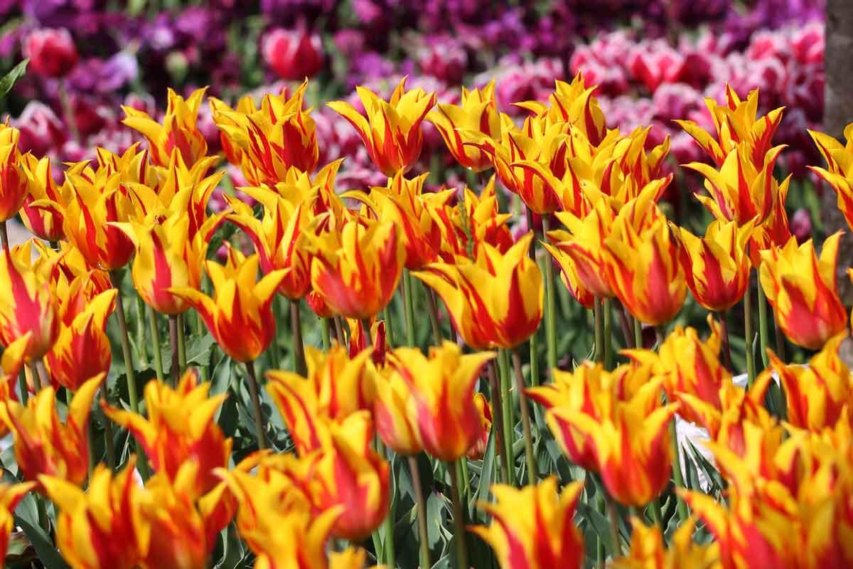 September je primeren za nakup čebulic tulipanov