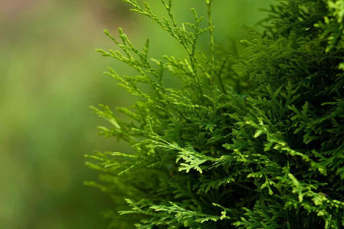 Obrezovanje in gnojenje smaragdnega kleka
