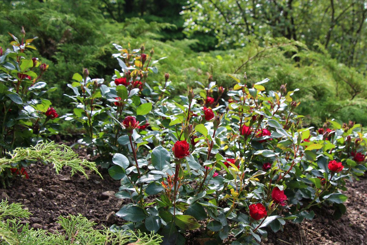 Vrtnica Zepeti