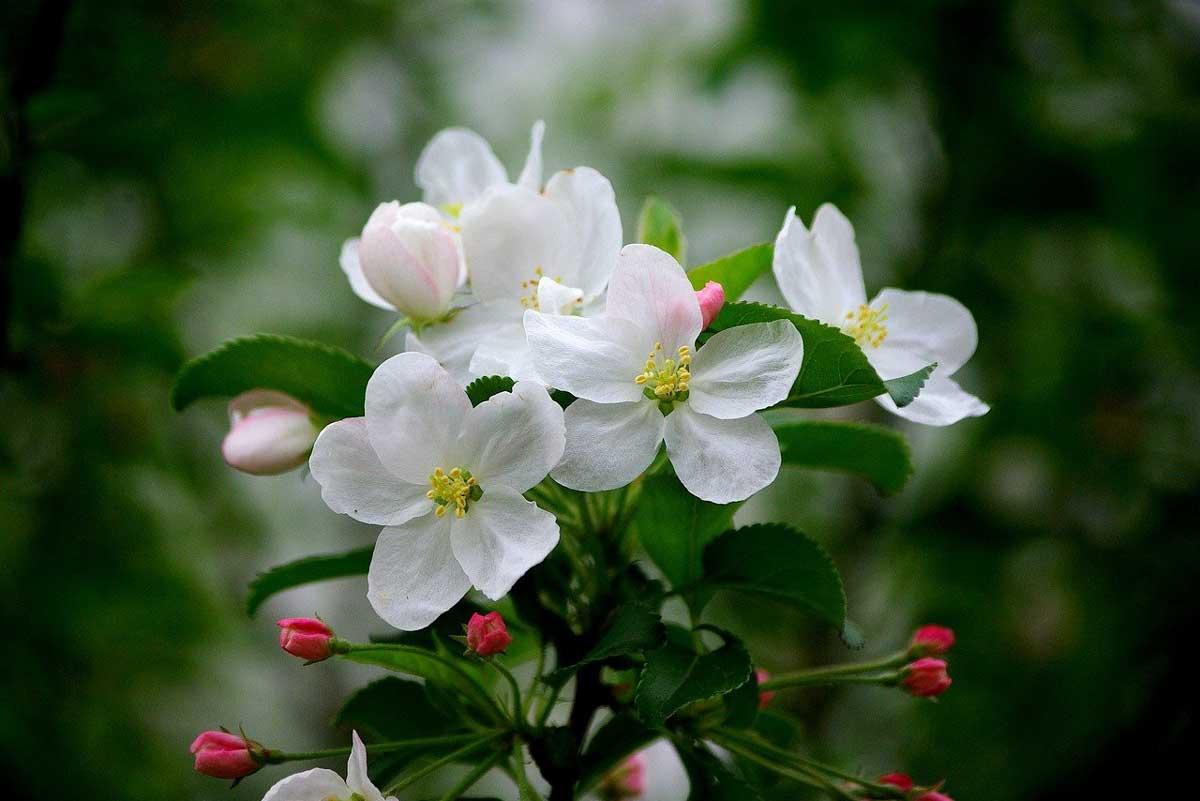 Cvet jablane