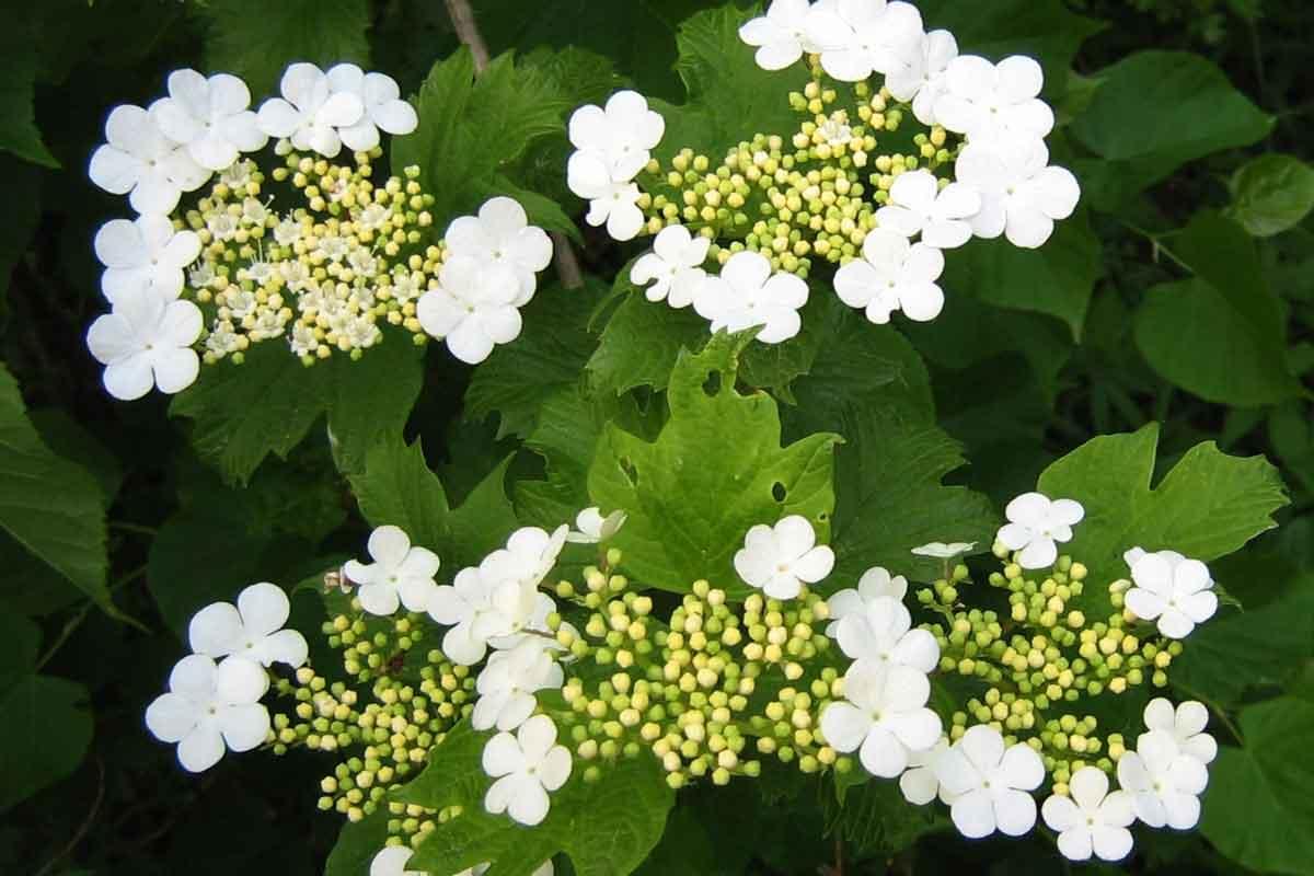 Cvet brogovite