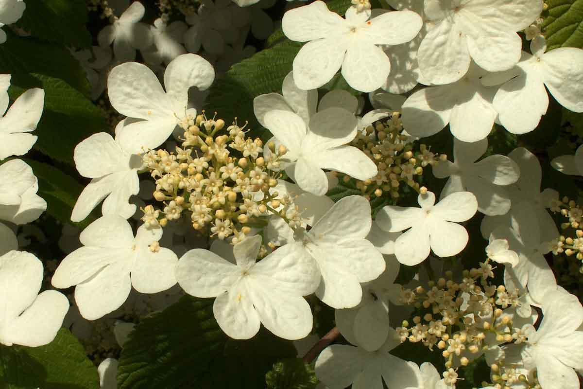 Cvet japonske brogovite