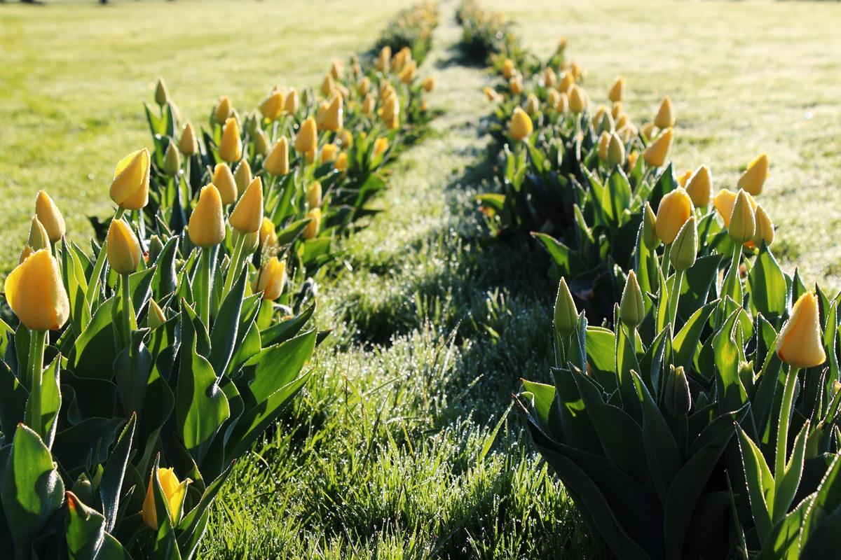 30. razstava tulipanov