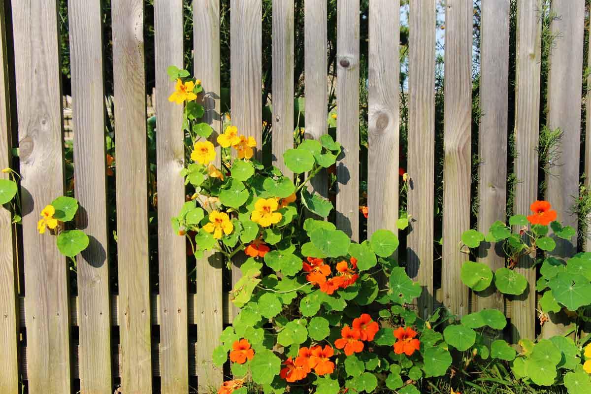 Kapucinka ob plotu