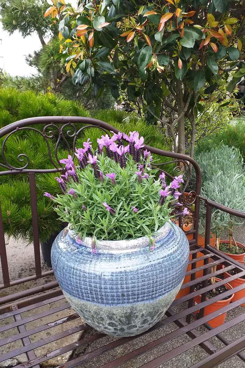 Francoska sivka v vrtnem centru