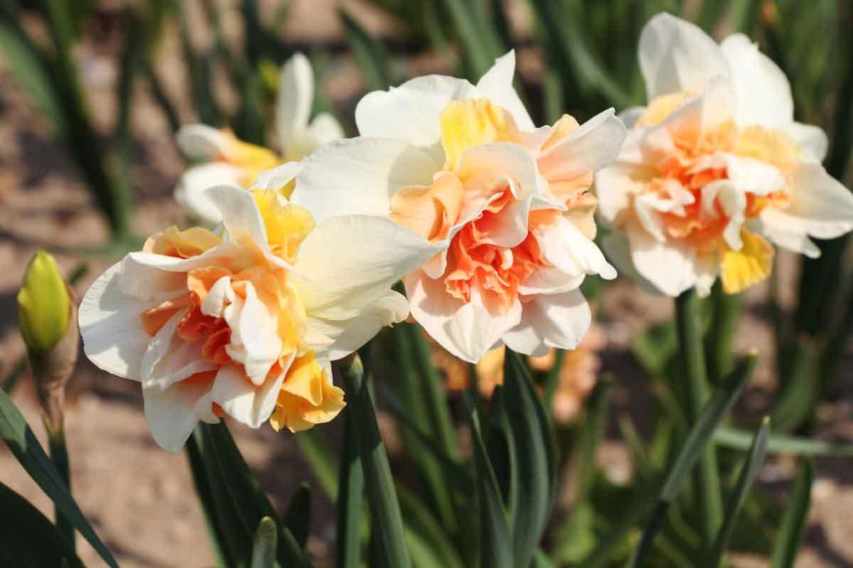 Narcise s polno sredico cveta