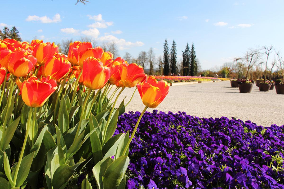 Tulipani z vrta Marije Auersperg Attems