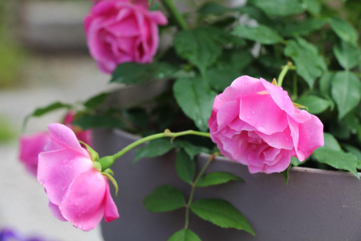 Vrtnica 'Old Blush'