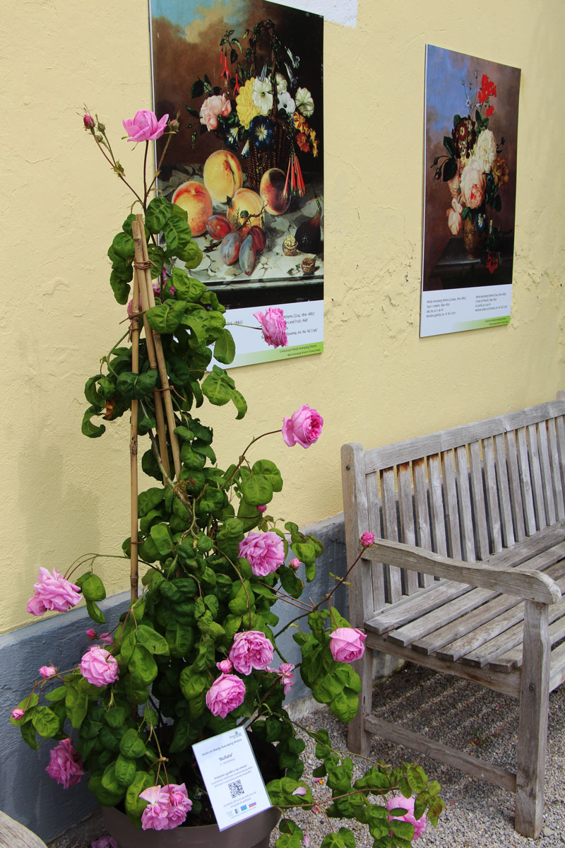 Cvetoči rožni vrt Marije Auersperg Attems