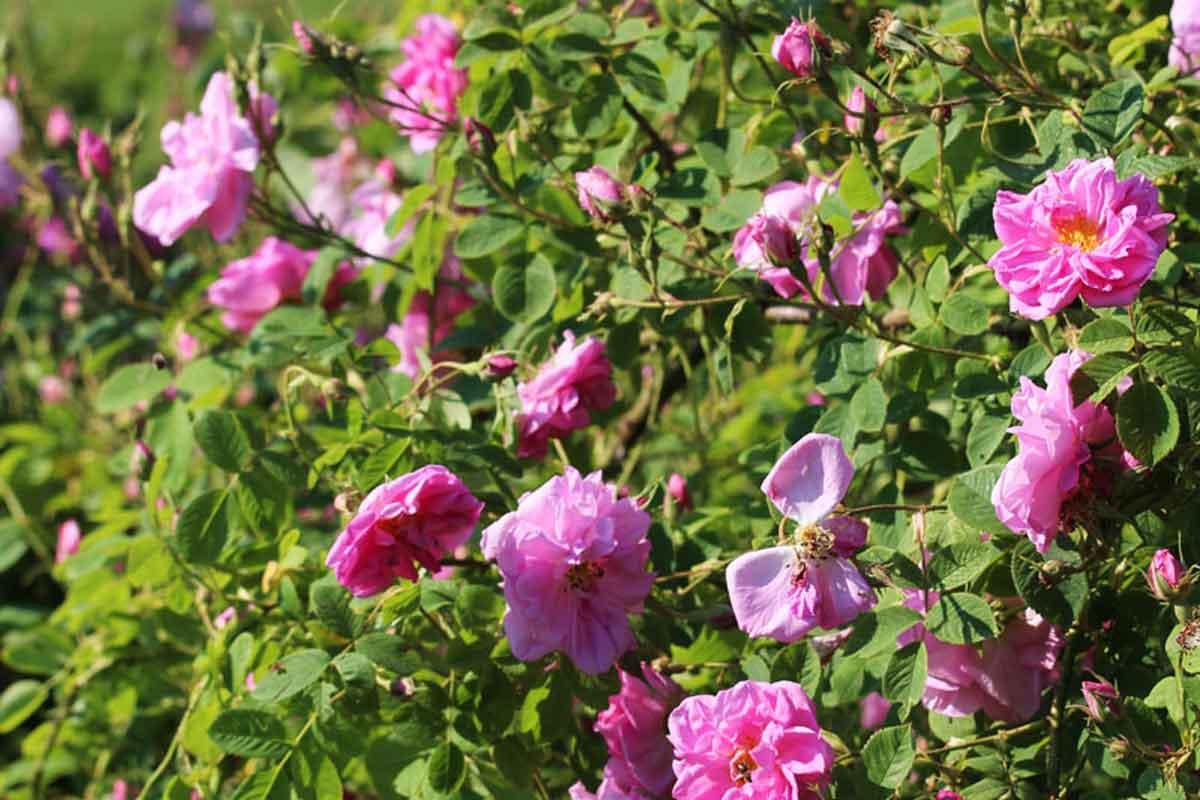 Rez vrtnice damaščanke